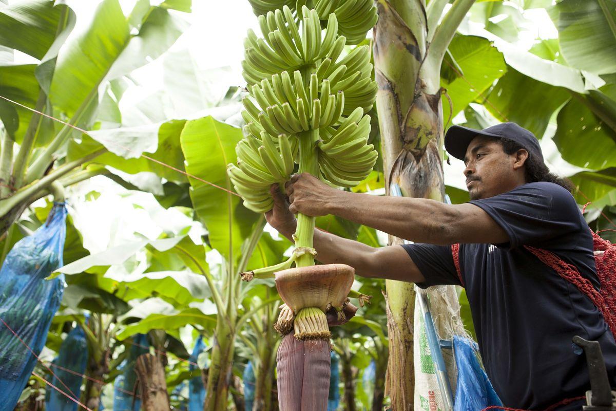 Bananenplantage van Chiquita 2