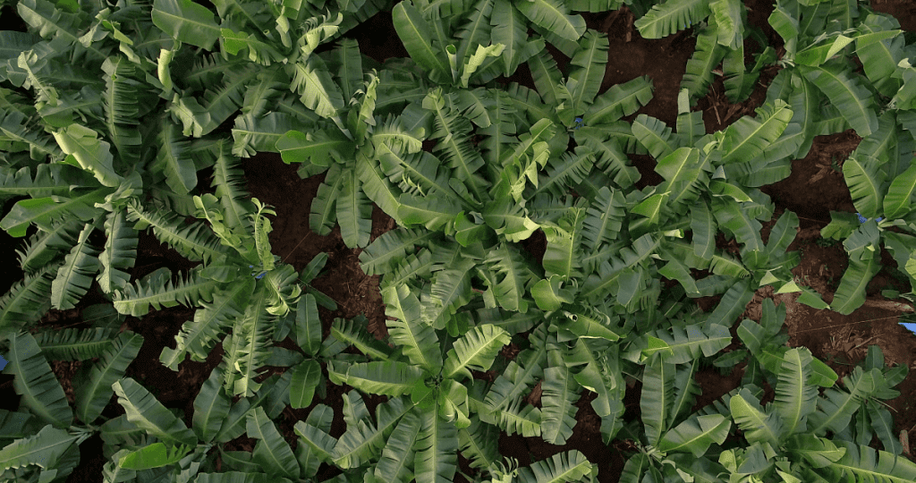 Chiquita Banana Trees aerial view